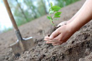 В Воронежской области высадят 2500 хвойных и плодовых деревьев